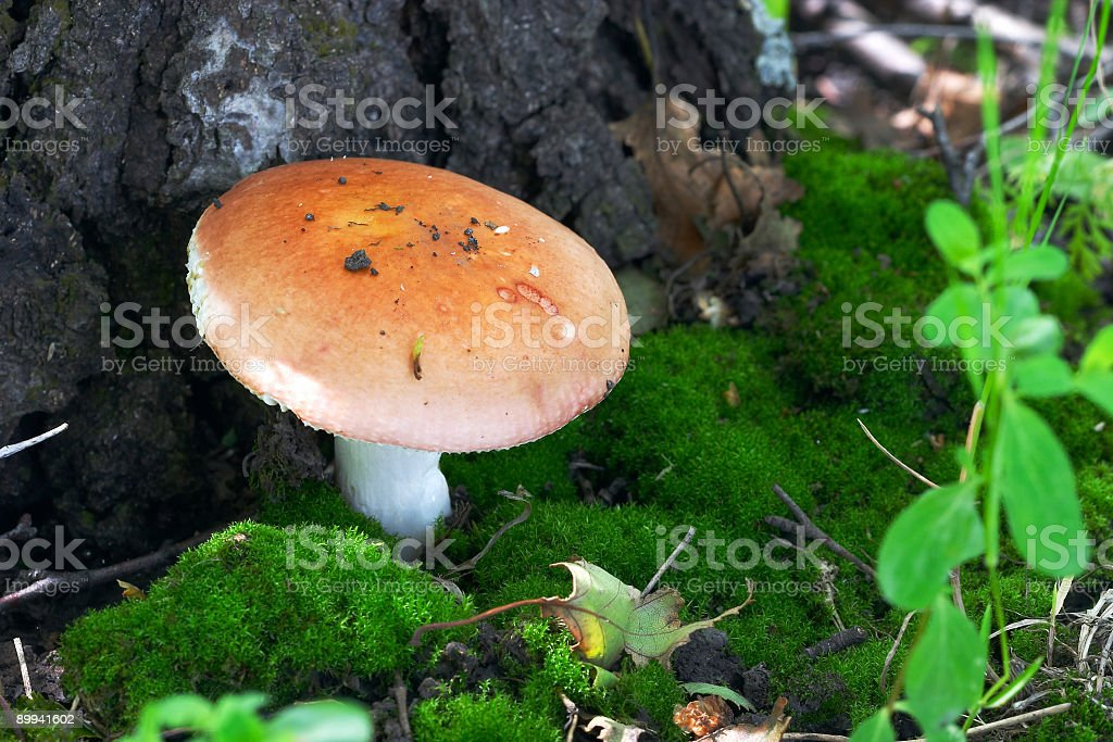mushroom in glade royalty-free stock photo