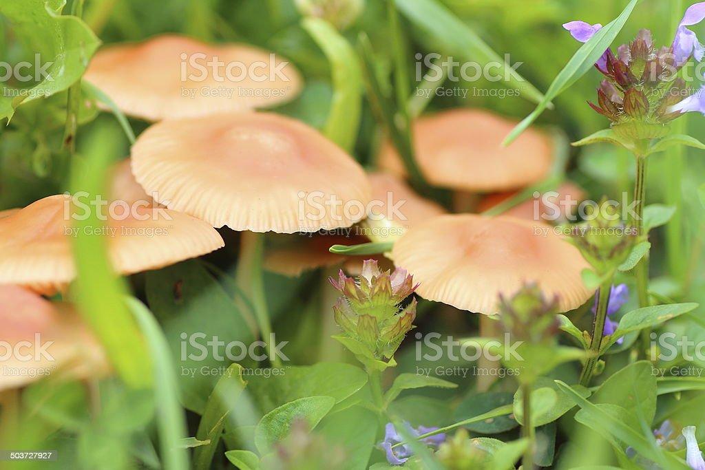 Mushroom in grass royalty-free stock photo
