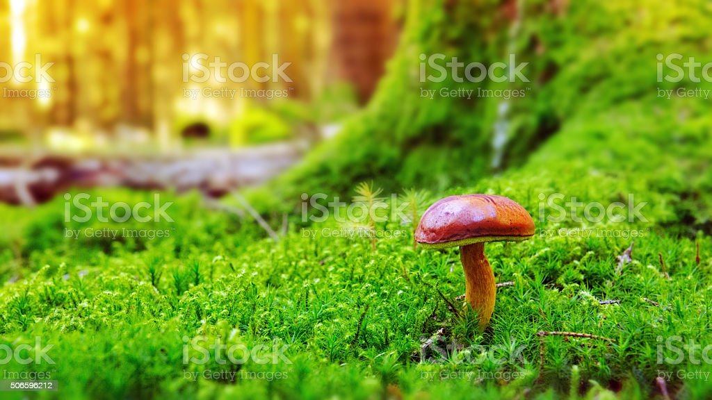 Pilze in grünem Moos. Lizenzfreies stock-foto