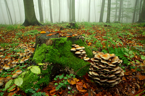 Mushroom in Misty and Rainy Autumn Forest