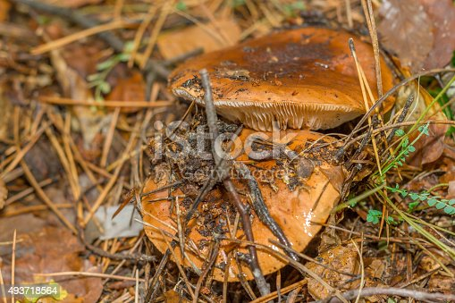 istock mushroom in the forest mountain in France 493718564