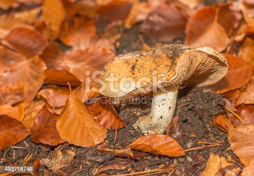 istock mushroom in the forest mountain in France 493718746