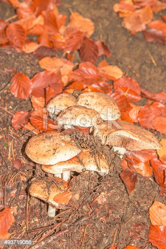 istock mushroom in the forest mountain in France 493719086