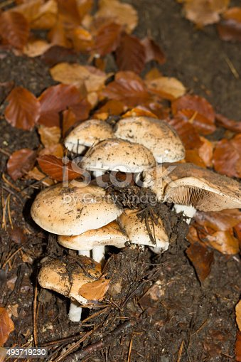 istock mushroom in the forest mountain in France 493719230