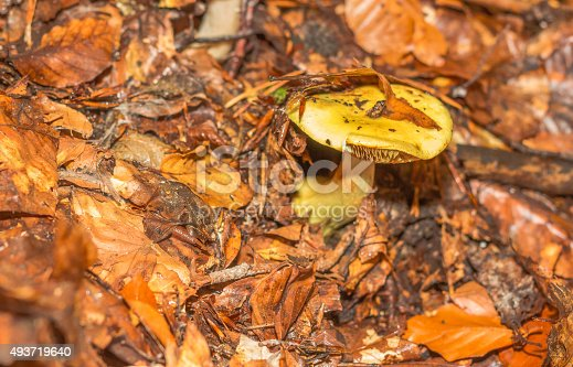 istock mushroom in the forest mountain in France 493719640