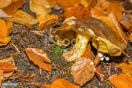 istock mushroom in the forest mountain in France 493720010