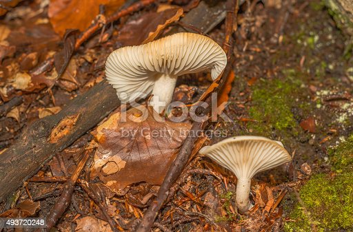 istock mushroom in the forest mountain in France 493720248