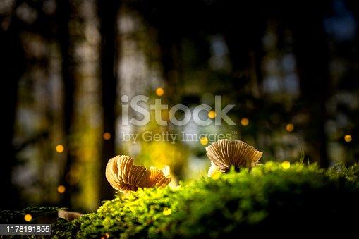 Giftpilz im Wald