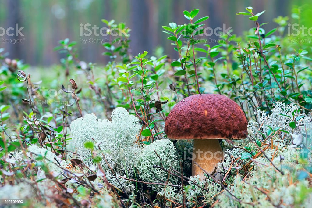 Mushroom in the forest stock photo