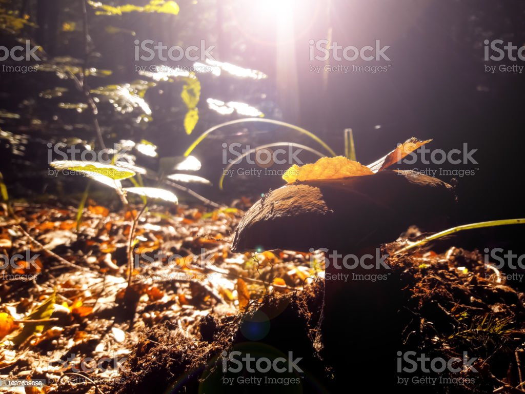 Mushroom in the forest under the yellow leaf. Autumn morning stock photo