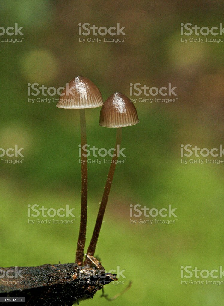mushroom in the grass royalty-free stock photo