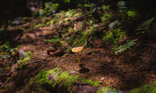 Mushroom on a Forest Floor Close up image of a neat mushroom growing on a forest floor in dappled sunlight. foraging stock pictures, royalty-free photos & images