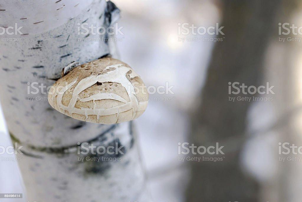 Mushroom on Birch Tree royaltyfri bildbanksbilder