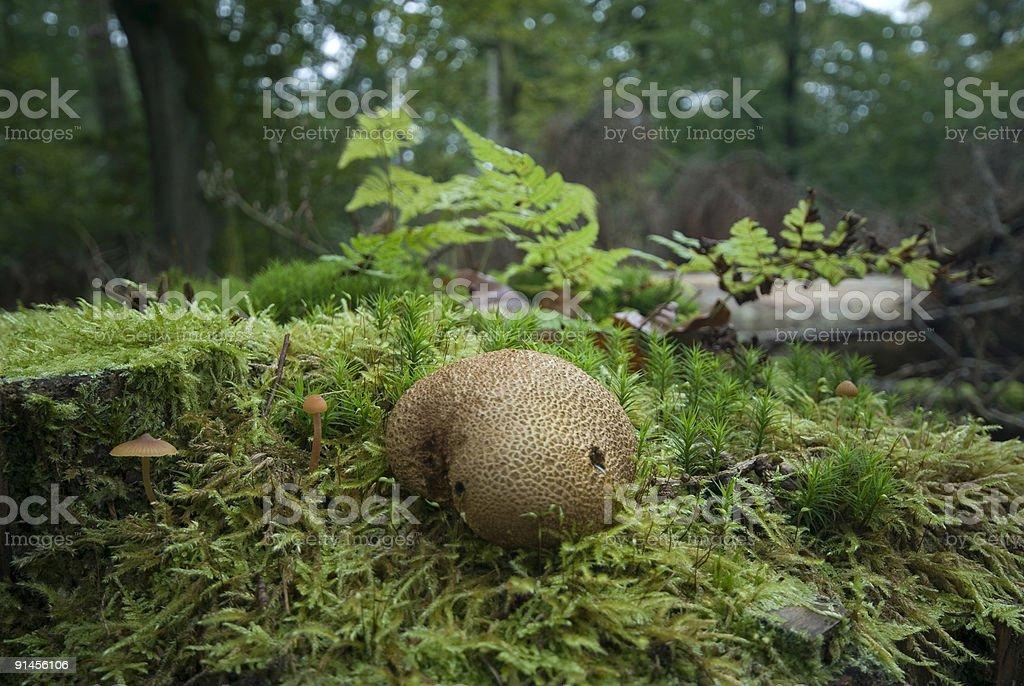 mushroom on dead treetrunk royalty-free stock photo