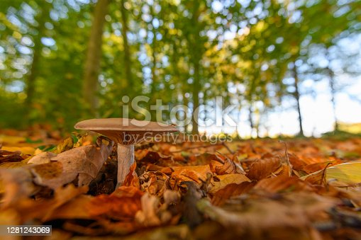 Mushroom on golden brown leaves covered forest floor during a beautiful fall day in Overijssel, The Netherlands.
