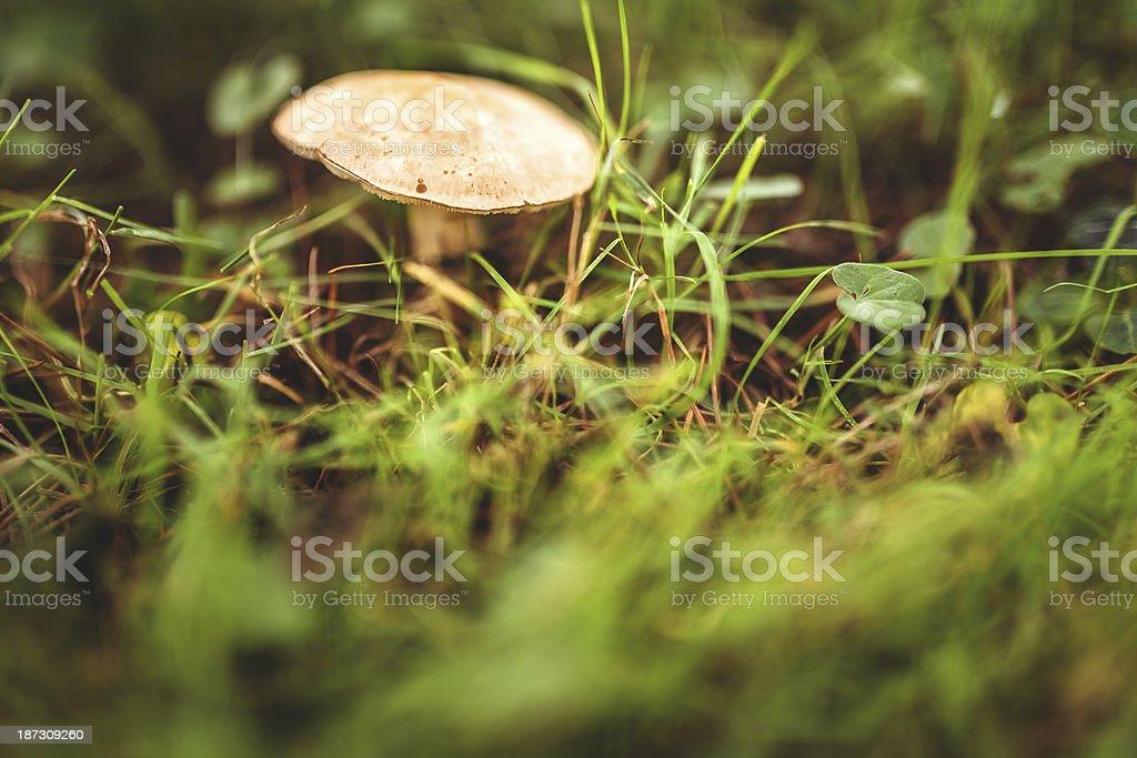 Mushroom on wet field royalty-free stock photo