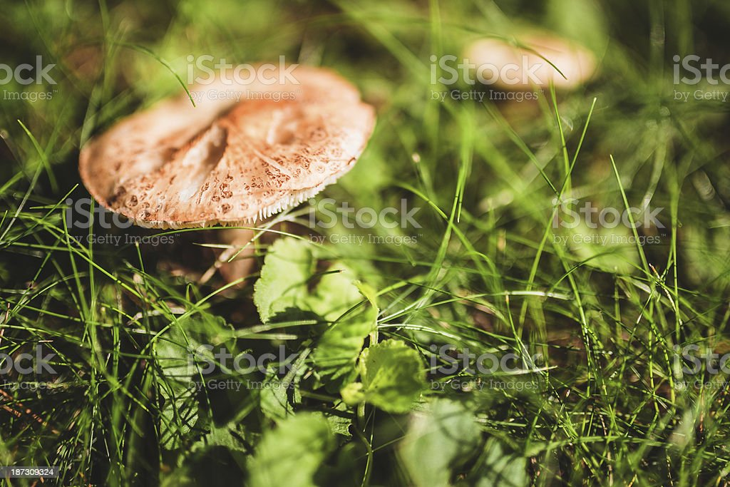 Mushroom on wet field royalty-free stock photo