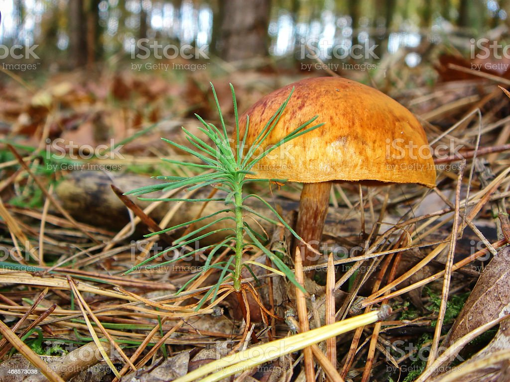 Mushroom on Wood Ground in Autumn stock photo