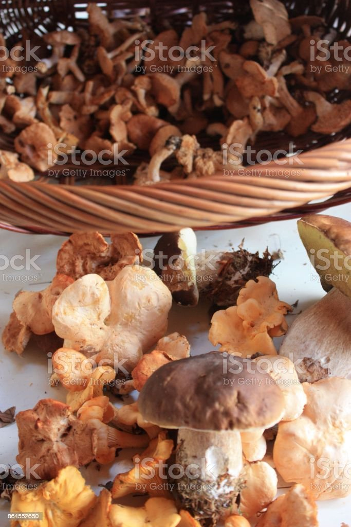 Mushroom picking from the forest  in autumn stock photo
