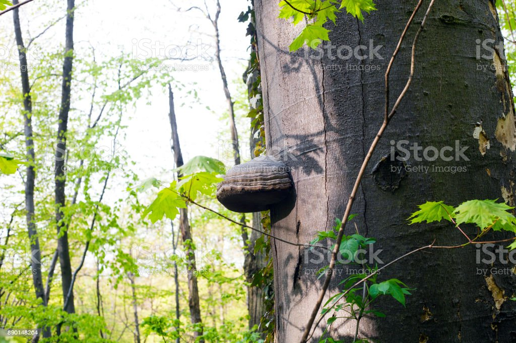 Mushroom Polypores grows on tree in forest stock photo