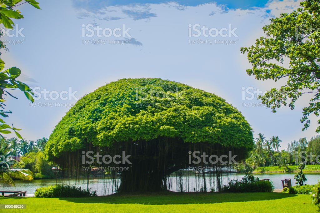 Mushroom shaped banyan tree against green grass field and blue sky background. Banyan is a plant that grows on another plant, when its seed germinates in a crack or crevice of a host tree or edifice. royalty-free stock photo