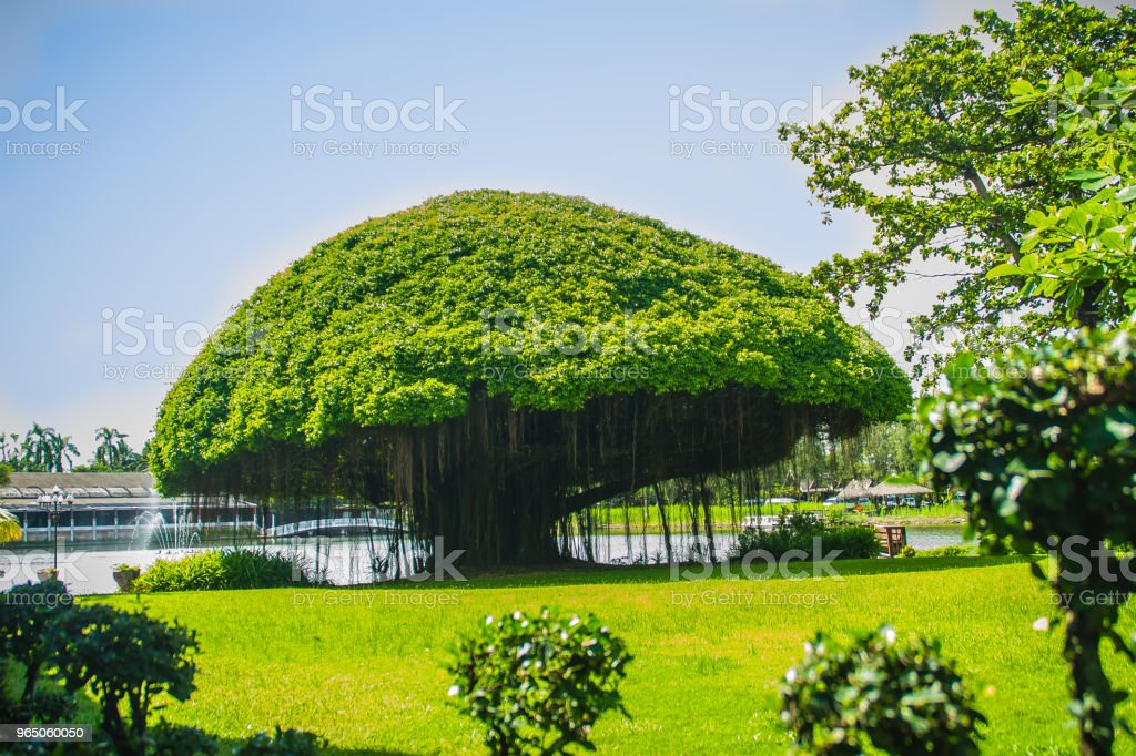Mushroom shaped banyan tree against green grass field and blue sky background. Banyan is a plant that grows on another plant, when its seed germinates in a crack or crevice of a host tree or edifice. zbiór zdjęć royalty-free
