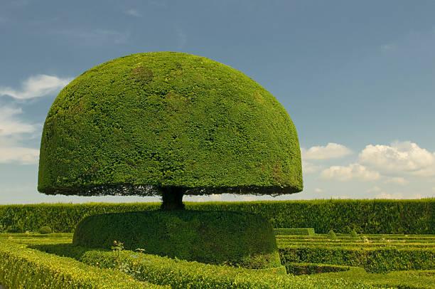 arbre en forme de champignon - buis photos et images de collection