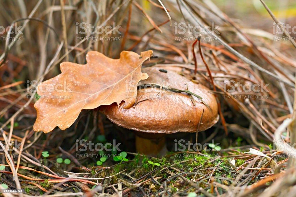 mushroom, Suillus luteus, in the moss in autumn forest stock photo