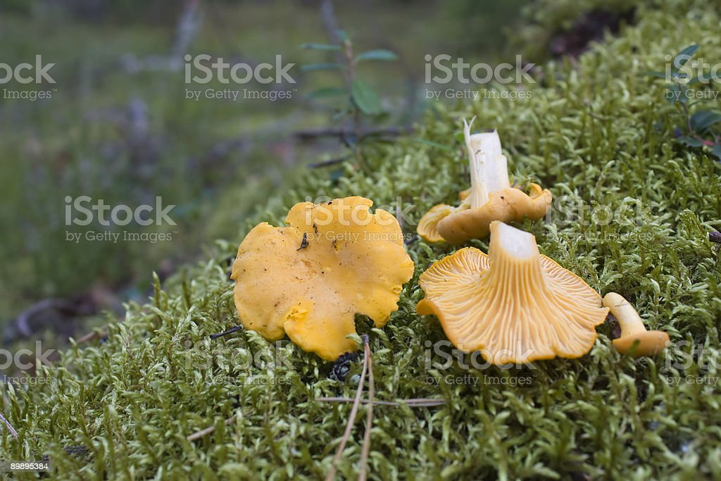 Champignon Vulpecula Lizenzfreies stock-foto