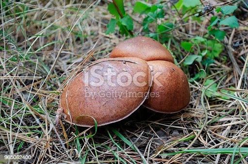 Mushroom With A Brown Hat Grows In The Forest Stock Photo & More Pictures of Autumn