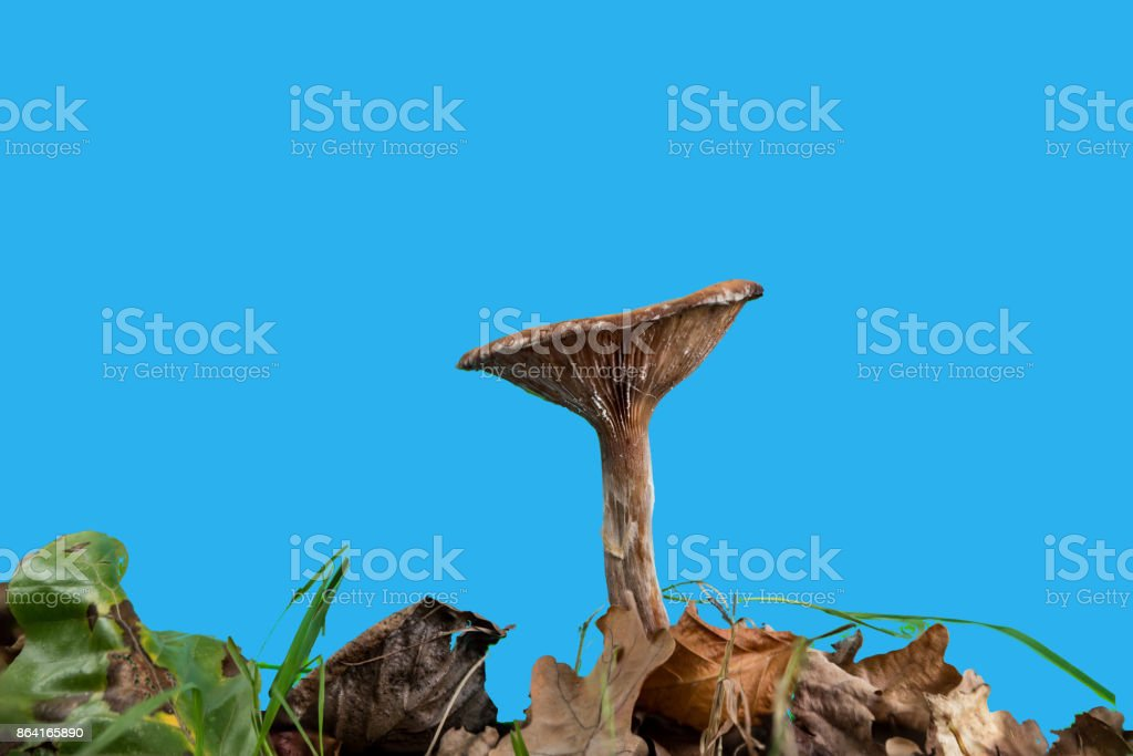 mushroom with gills seen from aside against a blue screen royalty-free stock photo