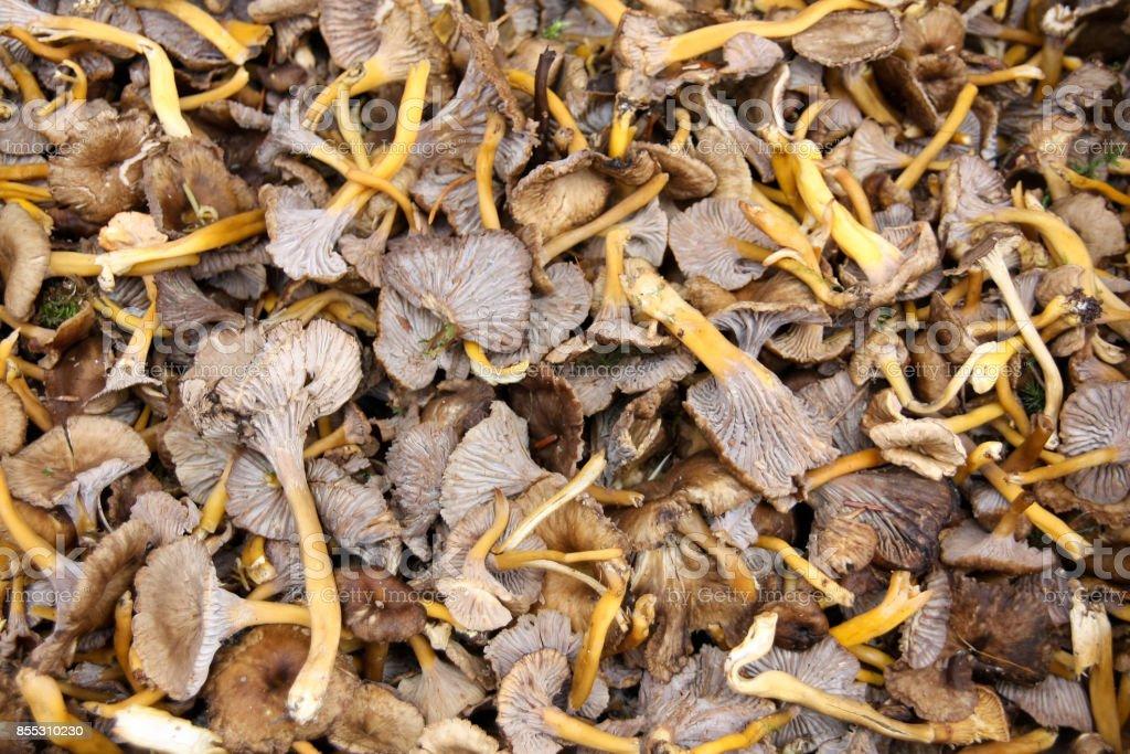 Mushroom Yellowfoot ( Cantharellus lutescens) stock photo