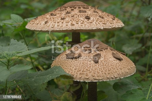 istock Mushrooms grow in the autumn forest among fallen leaves 1278769343