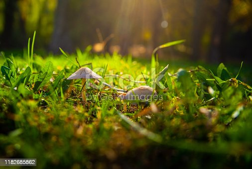 Mushrooms grow on the lawn in the light of sunlight