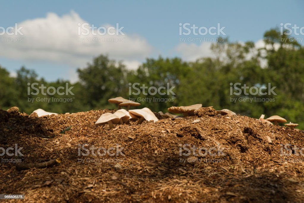Mushrooms growing on a pile of woodchip stock photo