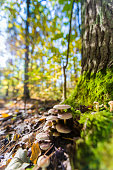 Mushrooms growing on a tree trunk in autumn in the sunshine