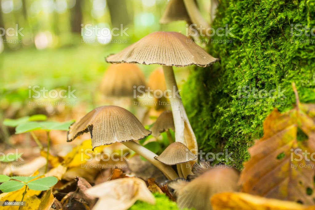mushrooms in autumn forest stock photo
