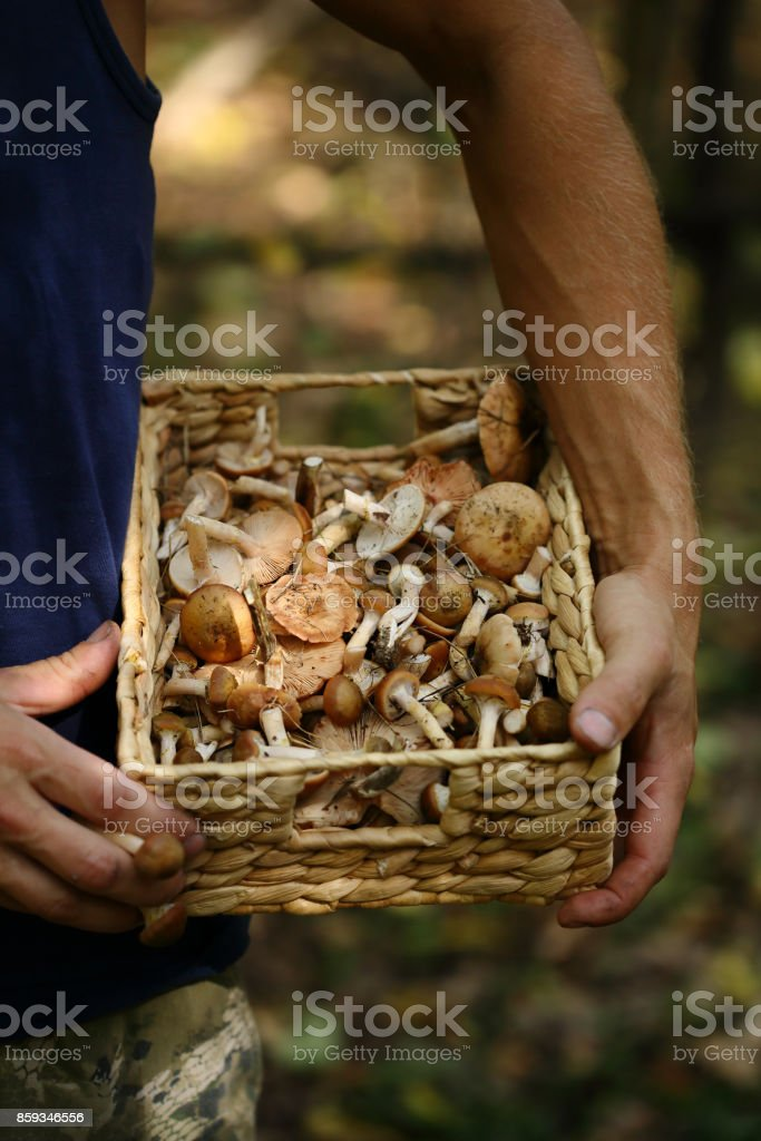 mushrooms in basket in man's hand stock photo