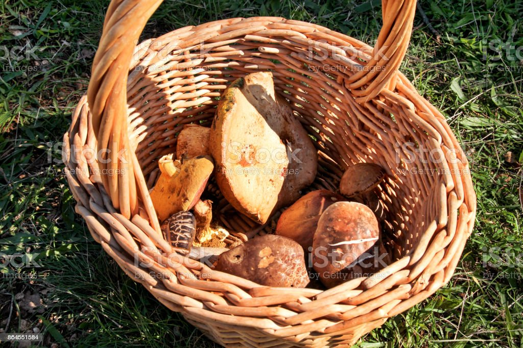 Mushrooms in basket. Mushroom picking in a forest during the autumn in nature. An inedible mushroom growing. Sickener, russula emetica, mushroom with orange cap, toadstools, brown mushroom, boletus. stock photo