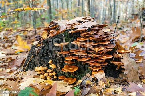 Mushrooms in Beech forest in autumn, fall season. Brown leaves on ground. Sun rays from the trees. Mystical forest in Silesia, Poland.