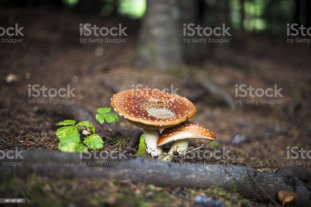 mushroom´s in forrest royalty-free stock photo