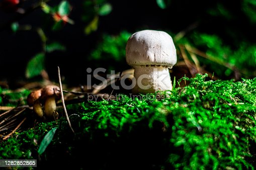 Mushrooms in natural conditions. Close-up shot