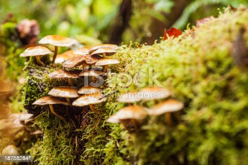 Mushrooms growing on a moss covered log in a Pacific Northwest forest after a fresh autumn rain.