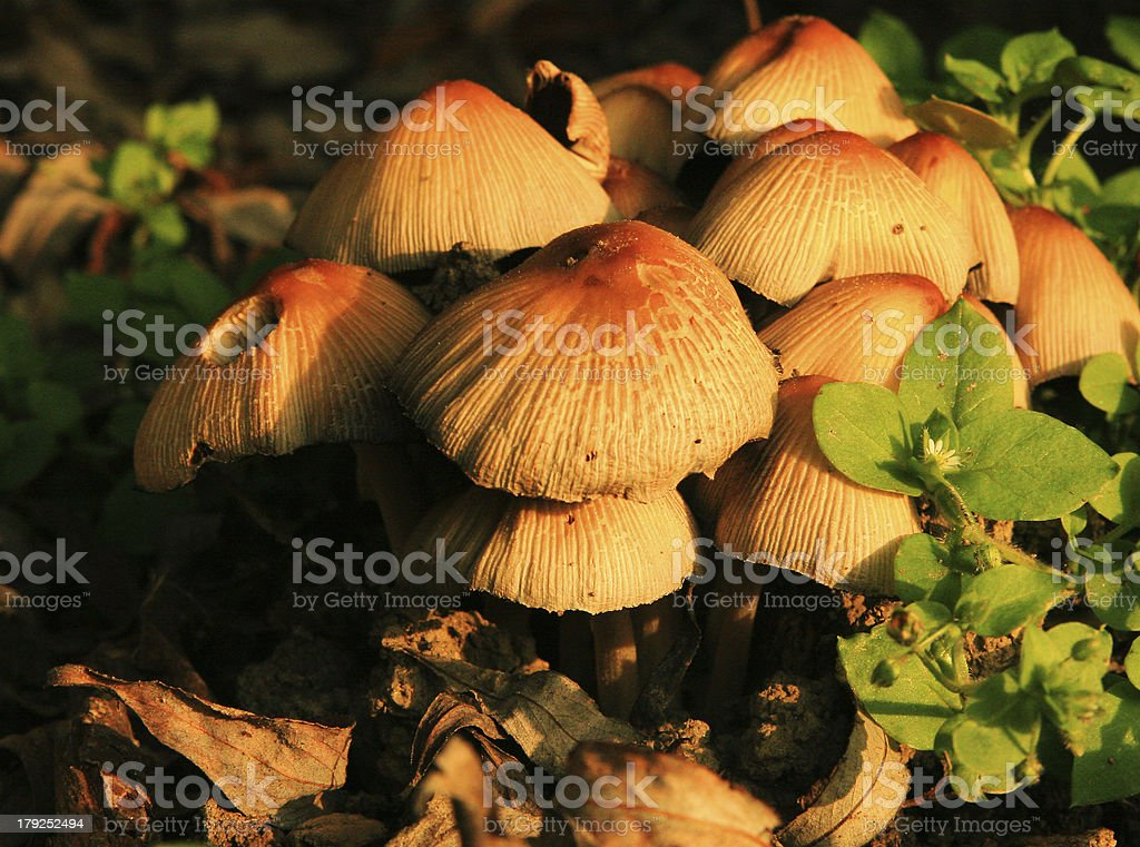 Mushrooms in the grass royalty-free stock photo