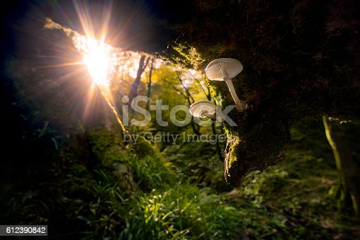 istock Mushrooms lit by autumn sunrise filtering through forest beech trees 612390842