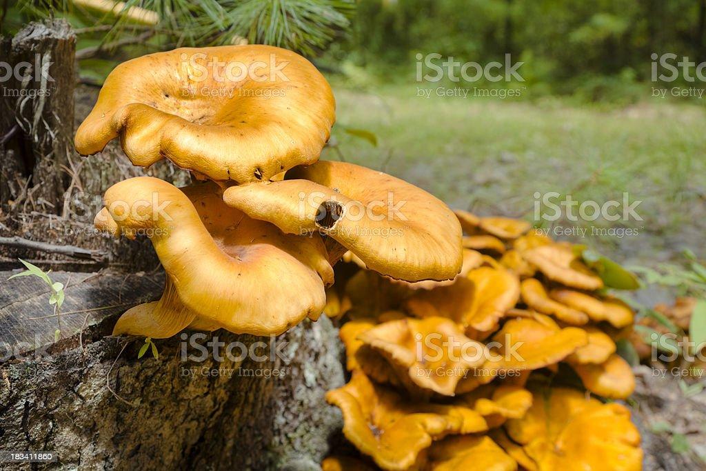Mushrooms of Orange Growing in Layers by Tree Stump stock photo