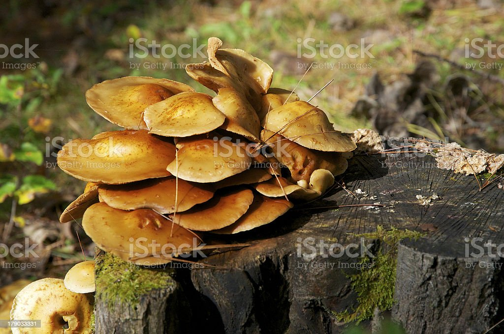 Mushrooms on a Stump royalty-free stock photo