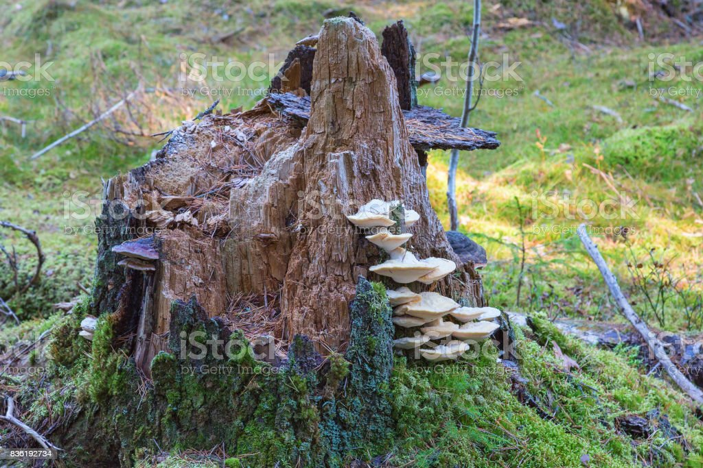 Mushrooms on a tree stump in the forest stock photo