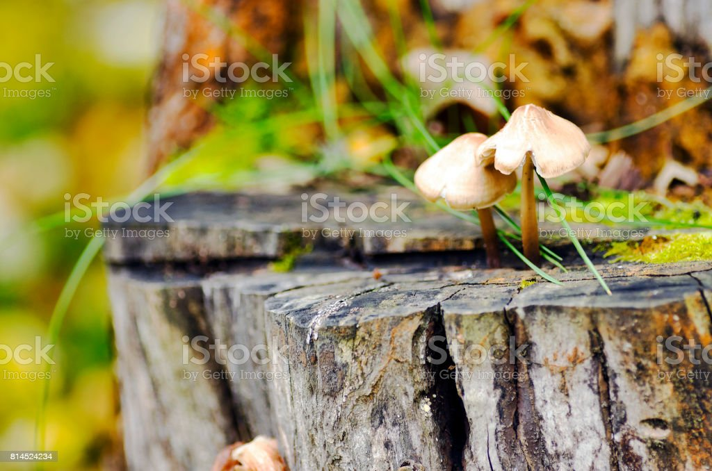 Mushrooms on an old tree stump stock photo