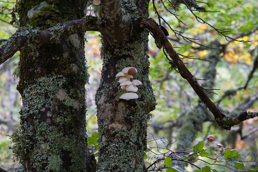 Mushrooms on Beech Trunk - Setas en Tronco de Haya